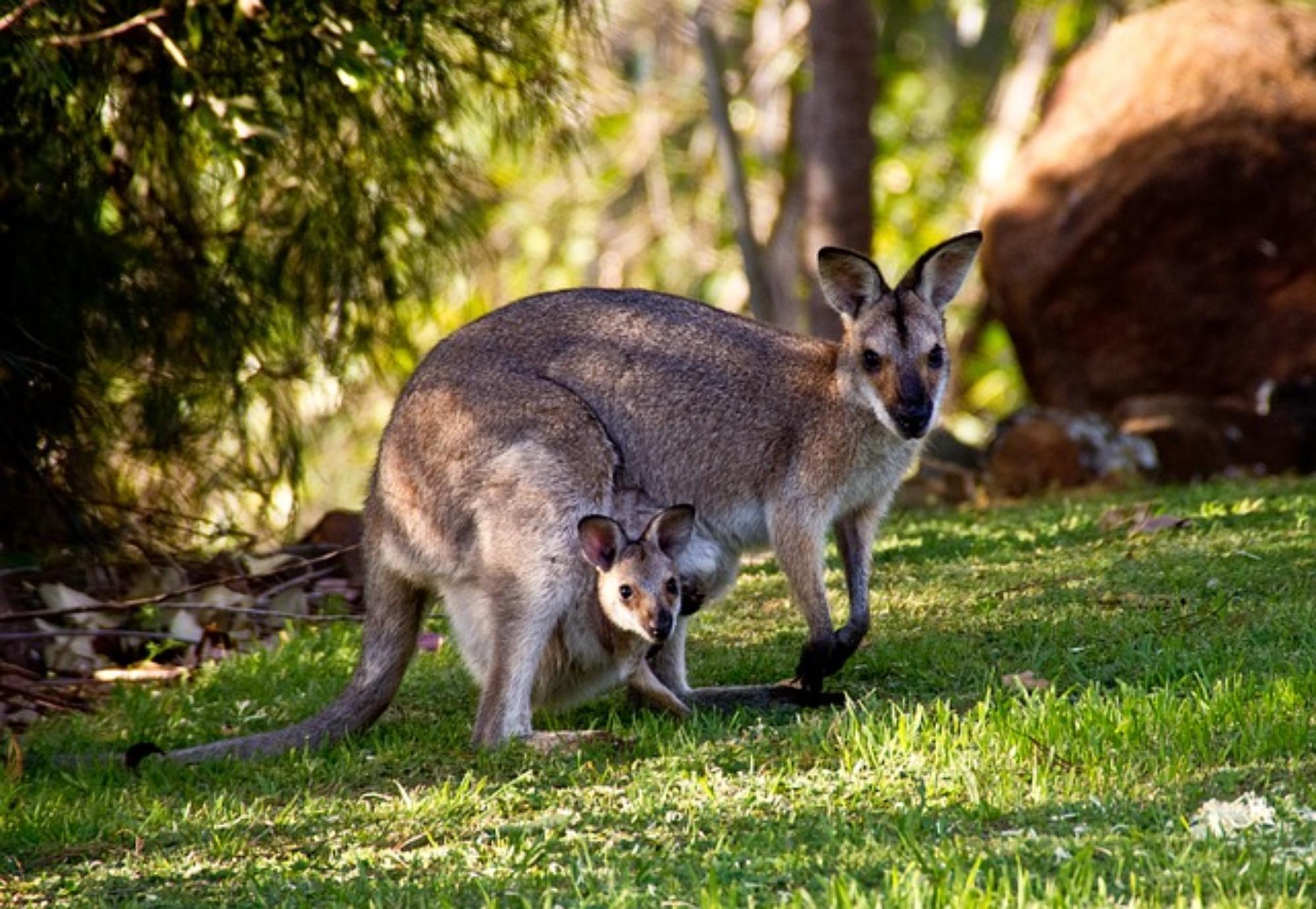 Känguru-Filets